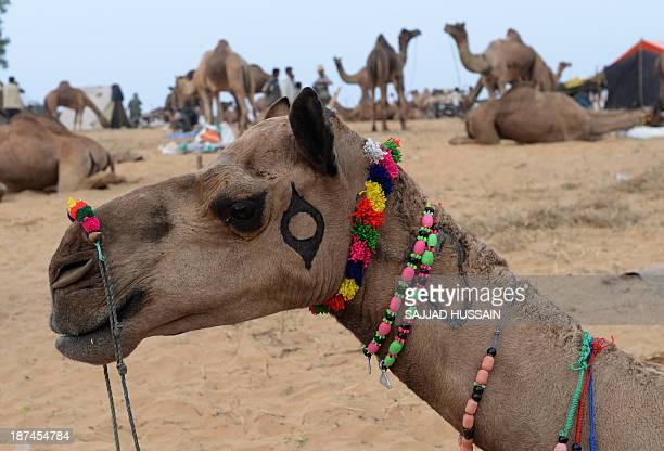 A camel adorned with colorful beads to attract customers stands in a field at the camel fair grounds in Pushkar on November 92013 Thousands of...
