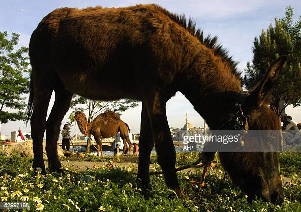 A camel and donkey are seen on the banks of the Bosphorous with the mosques of Karakoy in downtown Istanbul on the far bank 29 May 2005 The camel...