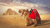 Camel and the pyramids in Giza