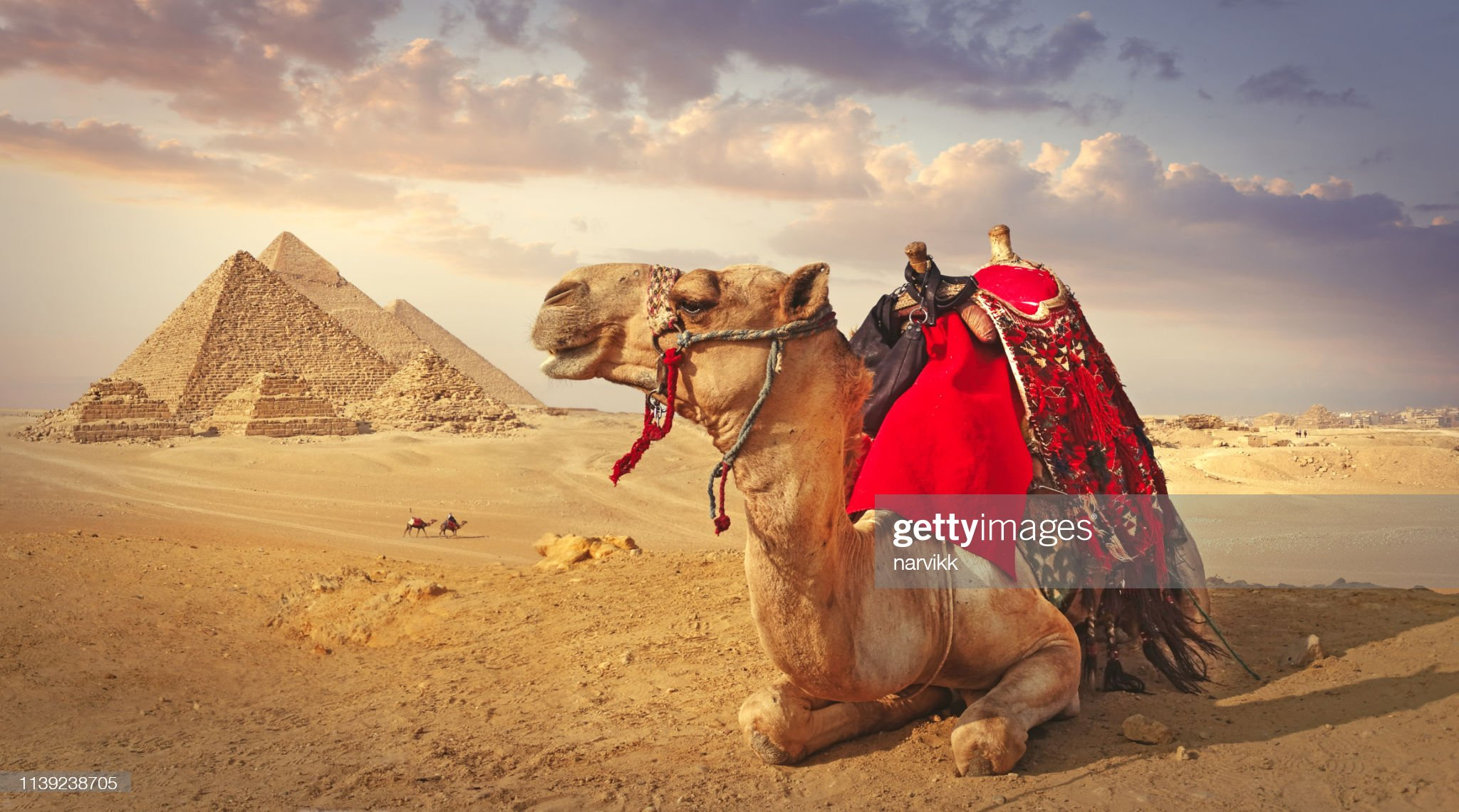 Camel and the pyramids in Giza : Stock Photo
