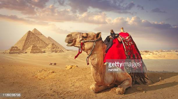 camel and the pyramids in giza - giza pyramids stock pictures, royalty-free photos & images