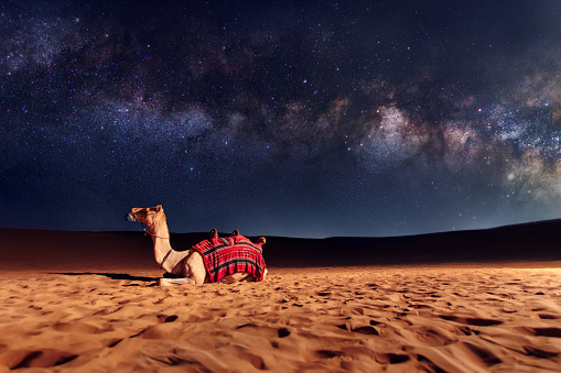 Camel animal is sitting on the sand dune in a desert. Milky Way galaxy and stars in the sky 1066345590