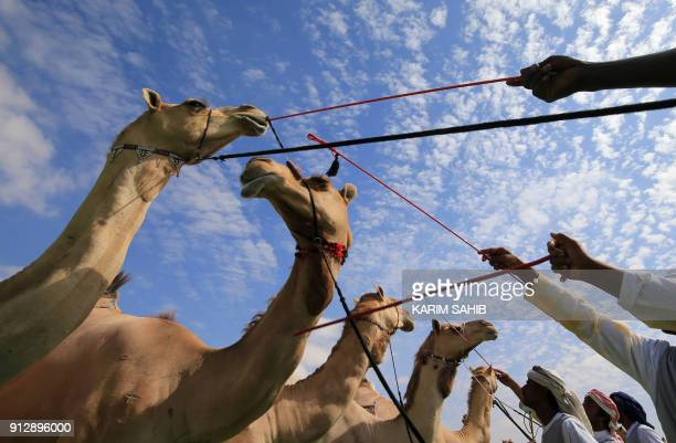 TOPSHOT Camel are seen following a beauty contest during the Sheikh Sultan Bin Zayed alNahyan camel festival at the Shweihan racecourse in alAin on...