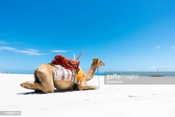 camel at diani beach - mombasa stock pictures, royalty-free photos & images