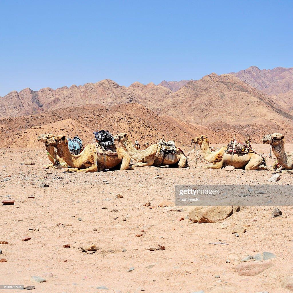 Camel at Sinai mountains, Egypt : Stock Photo
