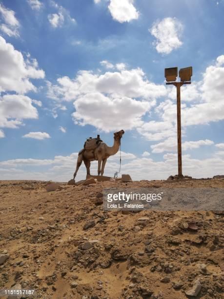 Camel at the funerary complex of pharaoh Djoser, Saqqara