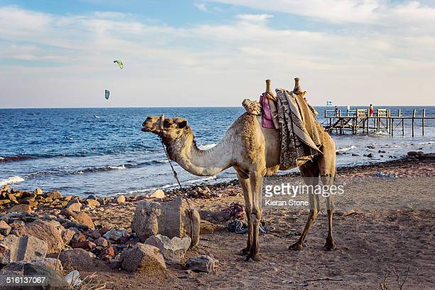 Camel by the beach