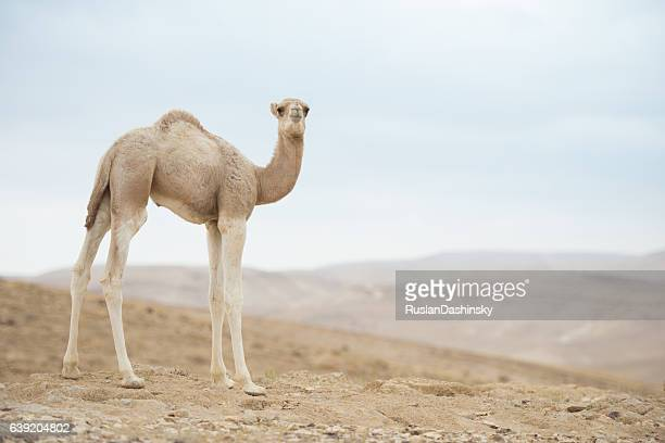 camel calf. - camel stock pictures, royalty-free photos & images