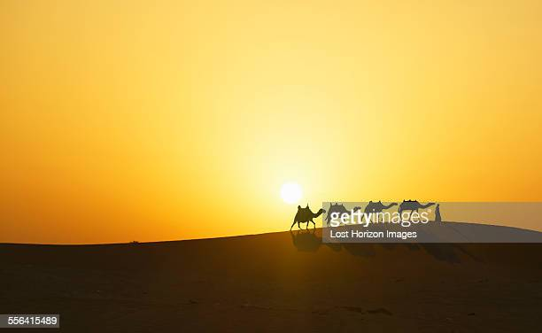 Camel caravan in desert at sunset, Dubai, United Arab Emirates