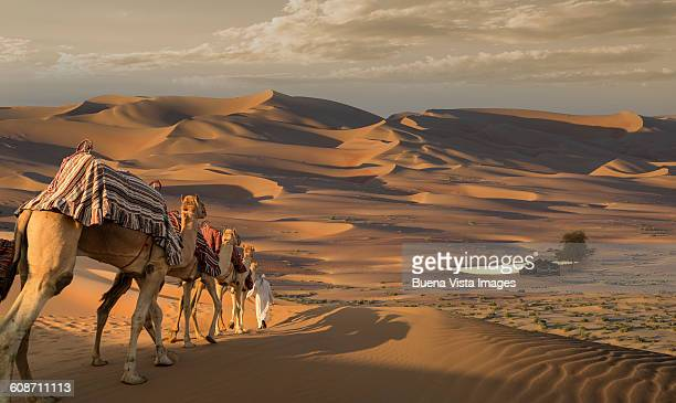 camel caravan in desert at sunset - traditional clothing stock pictures, royalty-free photos & images