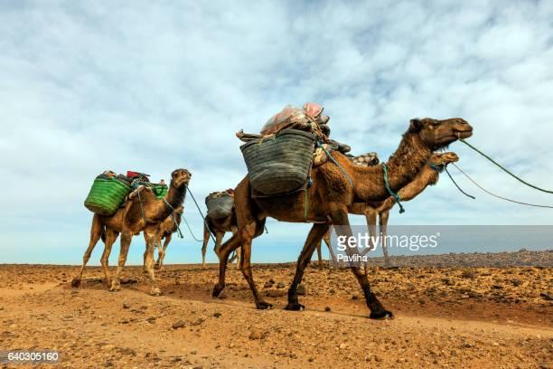 caravane chameau dans le désert du sahara mhamid, zagora, maroc, afrique - touareg photos et images de collection