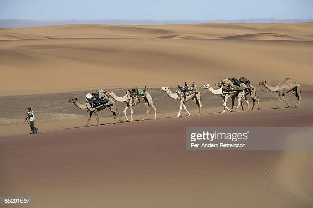 A camel caravan walks in the Namib Desert close the Sand Dunes at Skeleton Coast on April 29 2008 in Kunene Namibia The camel caravan walked about...
