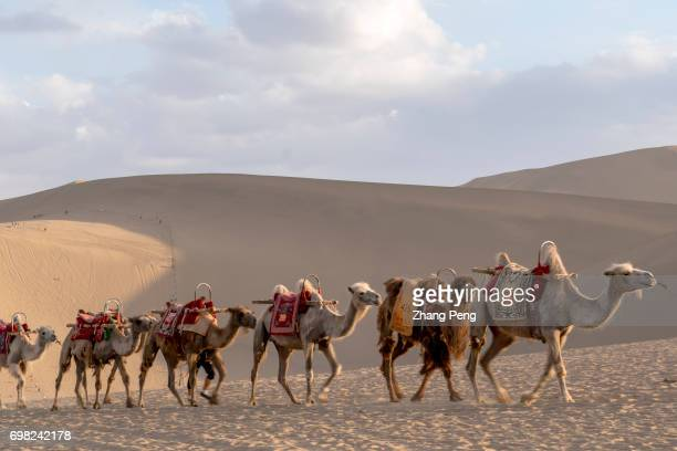 Camel caravans walking on the desert The Mingsha Shan desert is a part of the ancient silk road Serving as an important platform for cultural...