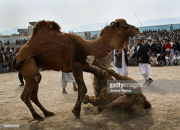 Camel crashes into the dirt, overcome in a fight at the football stadium in Mazar-e Sharif, in northern Afghanistan, March 22, 2007. The fight formed...