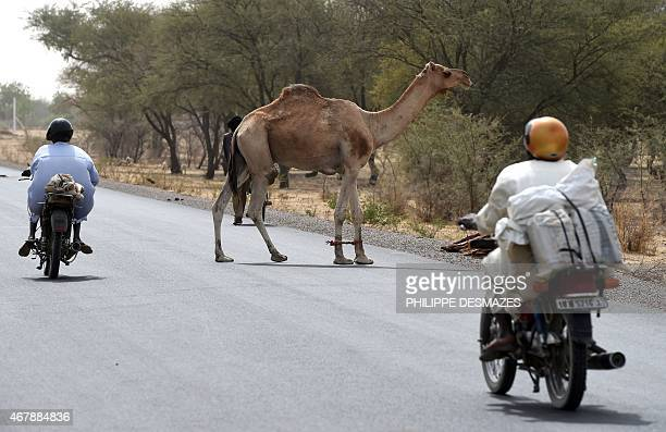 A camel crosses a road in a suburb of N'Djamena on March 28 2015 AFP PHOTO / PHILIPPE DESMAZES