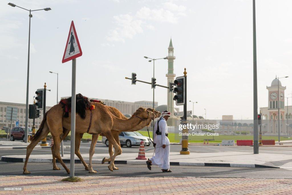 Camel crossing a road in Doha Qatar : Stock-Foto