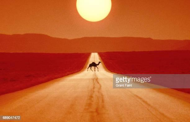 camel crossing road. - um animal - fotografias e filmes do acervo