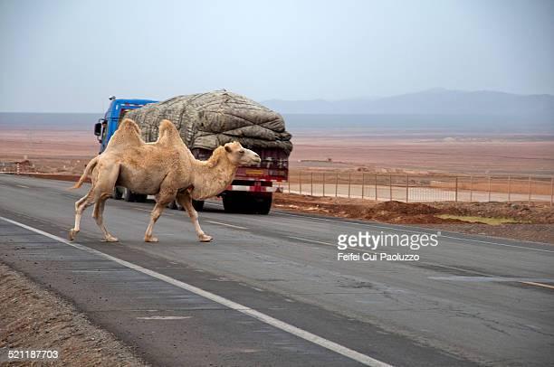 A camel crossing the silk road near Turpan, Xinjiang province, China