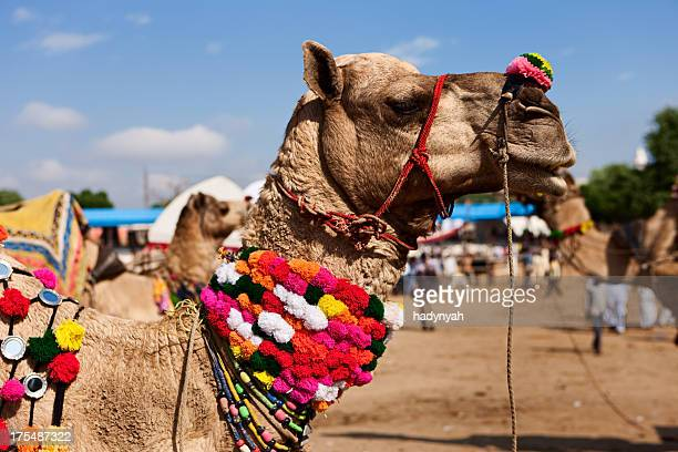 camel during festival in pushkar - pushkar stock pictures, royalty-free photos & images