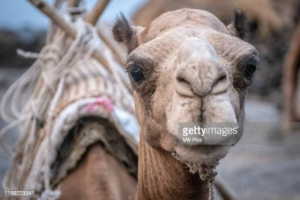 Camel for transporting supplies to camps at Erta Ale Volcano, a continuously active basaltic shield volcano and lava lake in the Afar Region of...