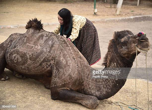 Camel getting its fur cut by Japanese hairdresser Megumi Takeichi before Camel Festival at Bikaner on Thursday