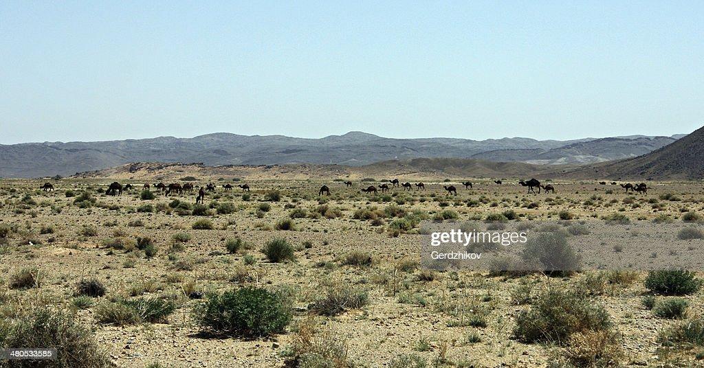 Camel Grasen : Stock-Foto