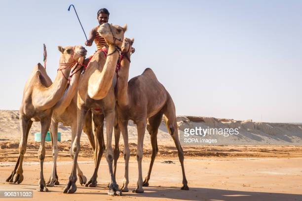 A camel handler has just brought out his camels from the sea after they had been washed and bathed to get rid of ticks and fleas The salty water from...