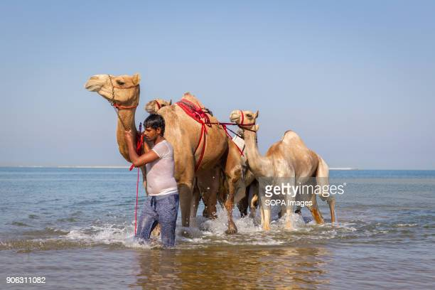 A camel handler is bringing out his camels after they have been washed and bathed in the sea to get rid of ticks and fleas The salty water from the...
