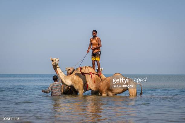 A camel handler is getting ready to bring his camels out of the water after they have been washed and bathed in the sea to get rid of ticks and fleas...