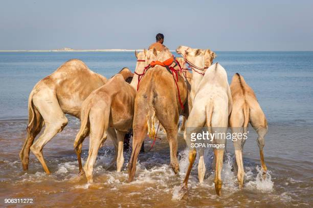 A camel handler is leading his camels into the sea for a wash and bath to get rid of tick and fleas The salty water from the sea helps them get rid...