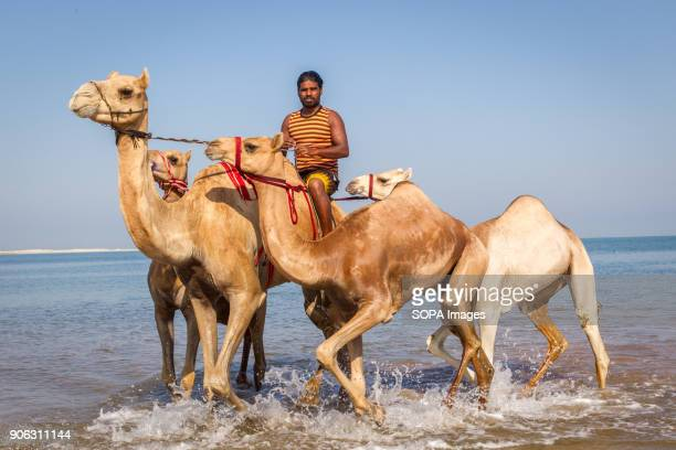 A camel handler rides his camels out of the water after he had washed and bathed them in the sea to get rid of ticks and fleas The salty water from...