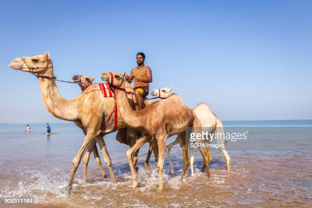 A camel handler rides his camels out of the water after he had washed and bathed them to get rid of ticks and fleas The salty water from the sea...