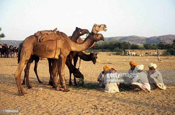 Camel herders with camels at Pushkar Rajasthan India