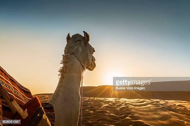 Camel in a desert watching sunset