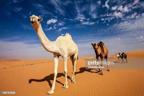 Camel in dahnaa