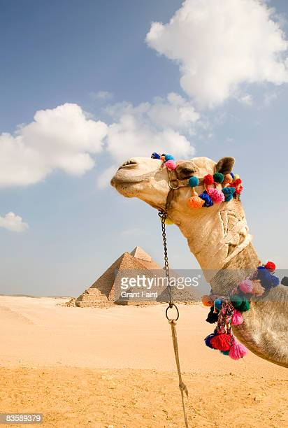 camel in desert with pyramids background