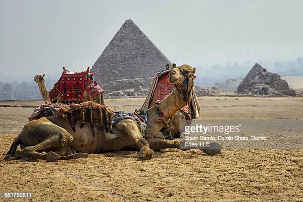 camel in front of the giza pyramids - damlo does imagens e fotografias de stock