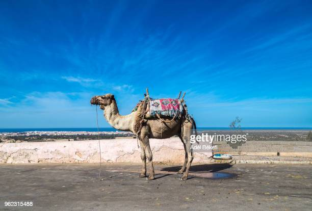 camel in morocco - camel train stock pictures, royalty-free photos & images