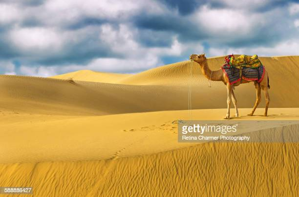 camel in thar desert, jaisalmer, rajasthan, india - rajastão imagens e fotografias de stock