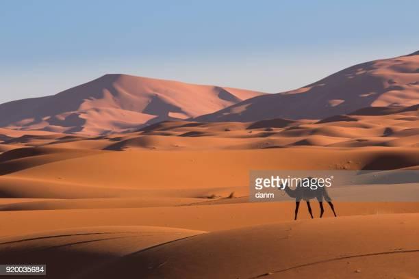 Camel in the desert Sahara, Morocco