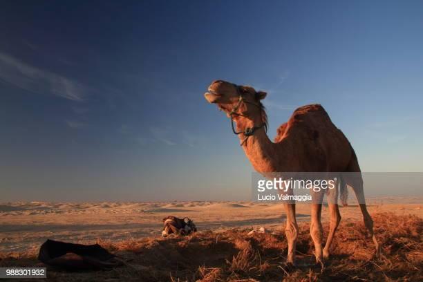 a camel in the sahara desert, tunisia. - tunez fotografías e imágenes de stock