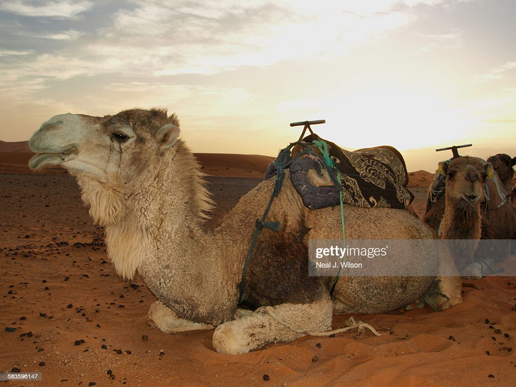 Camel in the Sahara : Stock Photo