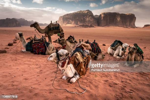 camel in wadi rum desert, famous red sand desert in jordan, arub - ヨルダン ストックフォトと画像