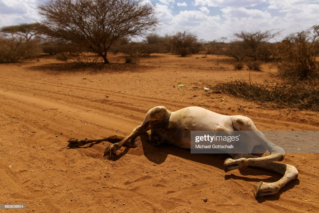 A camel is dead because of the persistent drought in the Somali