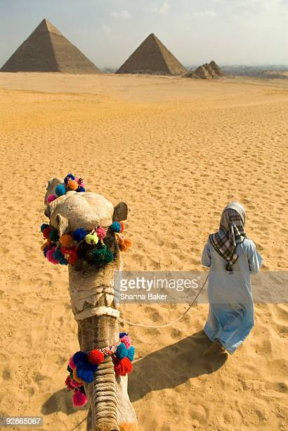 a camel is led toward the pyramids of giza - cairo stock pictures, royalty-free photos & images