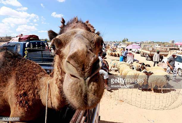A camel is seen in a vehicle at a livestock market set up for the upcoming Muslim sacrificial festival 'Eid alAdha' at Tripoli's Tacura region Libya...