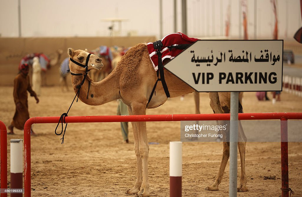 A camel is tethered to a railing after racing at Dubai Camel Racing Club during the Al Marmoum camel racing season on November 17, 2013 in Dubai, United Arab Emirates. Camel racing is one of the oldest sports in the Middle East. Historically children from India were used as jockeys on the camels until it was outlawed in 2002. Today robot jockeys are used and include shock absorbers and GPS tracking systems. The camel's owners control the robot's whips from their speeding four wheel drives at the side of the track. Throroughbred racing camels can be as valuable as one million US dollars.