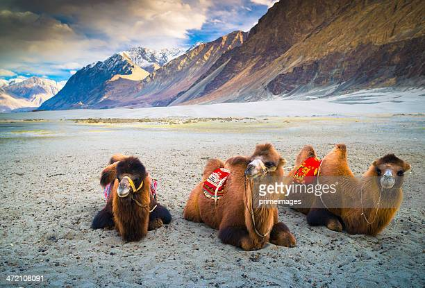 Camel is waiting for tourists in Nubra Valley, Leh.