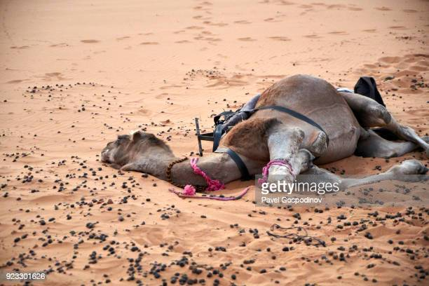 a camel laying on the ground at erg chebbi dunes in saharan morocco - infertility stock pictures, royalty-free photos & images