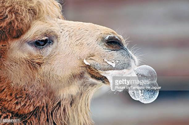 Camel making bubbles